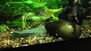 Речные, озерные улитки и двустворчатые моллюски в аквариуме. Пресноводные улитки.