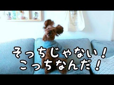 ぼくのこだわり!! トイプードルのTaruto&Rasuku