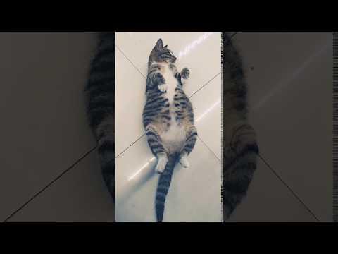 中华狸花猫有崽崽了