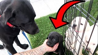 DOG DAD MEETS HIS PUPPIES FOR THE FIRST TIME!!