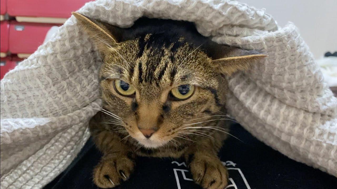 外の工事の音が怖くて俺の布団に潜り込む凶暴猫がこちら...