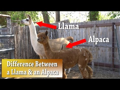 Llama vs Alpaca | Whats the difference
