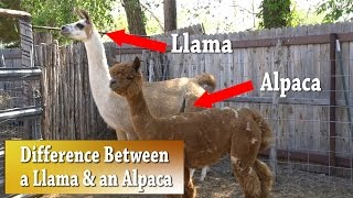 Llama vs Alpaca | Whats the difference thumbnail
