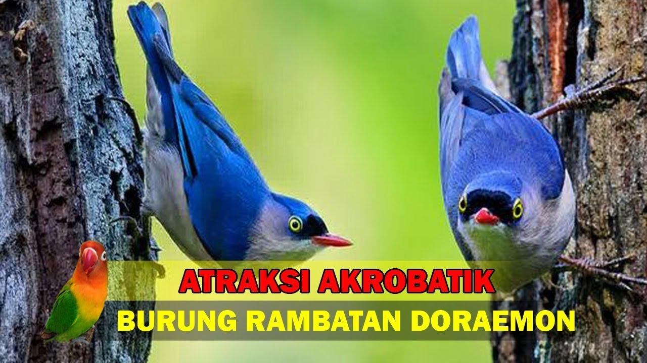 Atraksi Akrobatik Burung Rambatan Doraemon Youtube