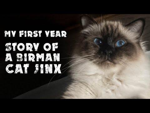 My first year | Story of a Birman cat Jinx