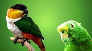 приколы с попугаями.  попугай каик! Смешное видео про попугаев!