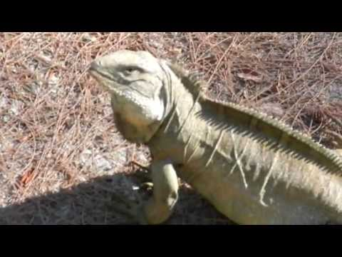 Iguana, Pine Cay, Turks and Caicos Islands