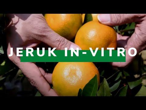 Inilah Jeruk Hasil Bioteknologi In-Vitro