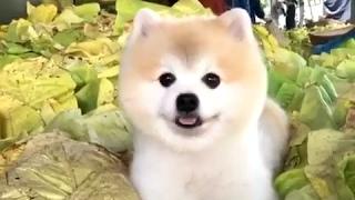 これは天使の笑顔…キャベツの山でニッコリする犬(動画)