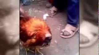 Курица без головы стала интернет-сенсацией