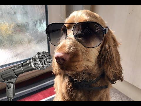 Funny Puppy Karaoke Session - Britains Got Talent? Not! - Cocker Spaniel