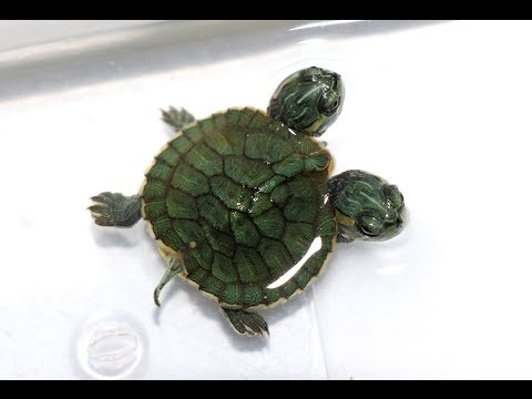 turtle Two headed