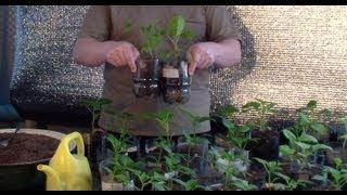 видео Болезни помидоров. Фитофтора на помидорах. Как бороться с фитофторой.