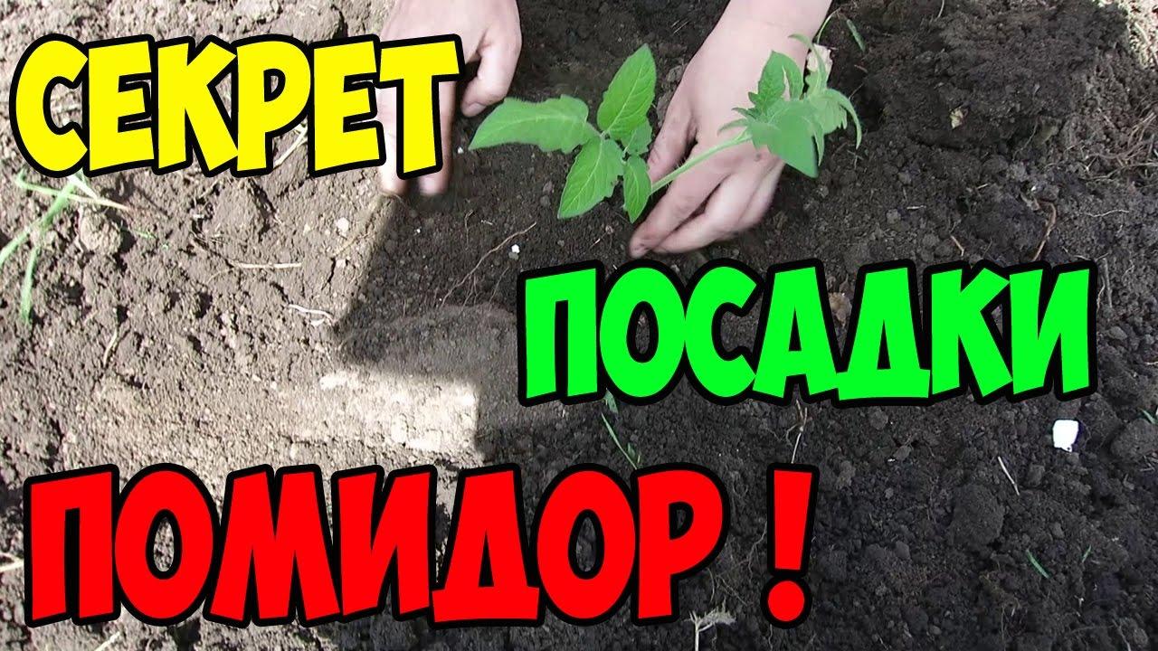 Посадка рассады помидор в открытый грунт, видео, Дача