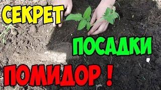 видео Томат, помидор: рассада, посадка, выращивание
