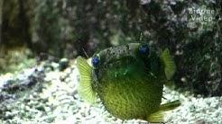 Zoo Leipzig: Igelfisch Porcupinefish Puffer-Fish