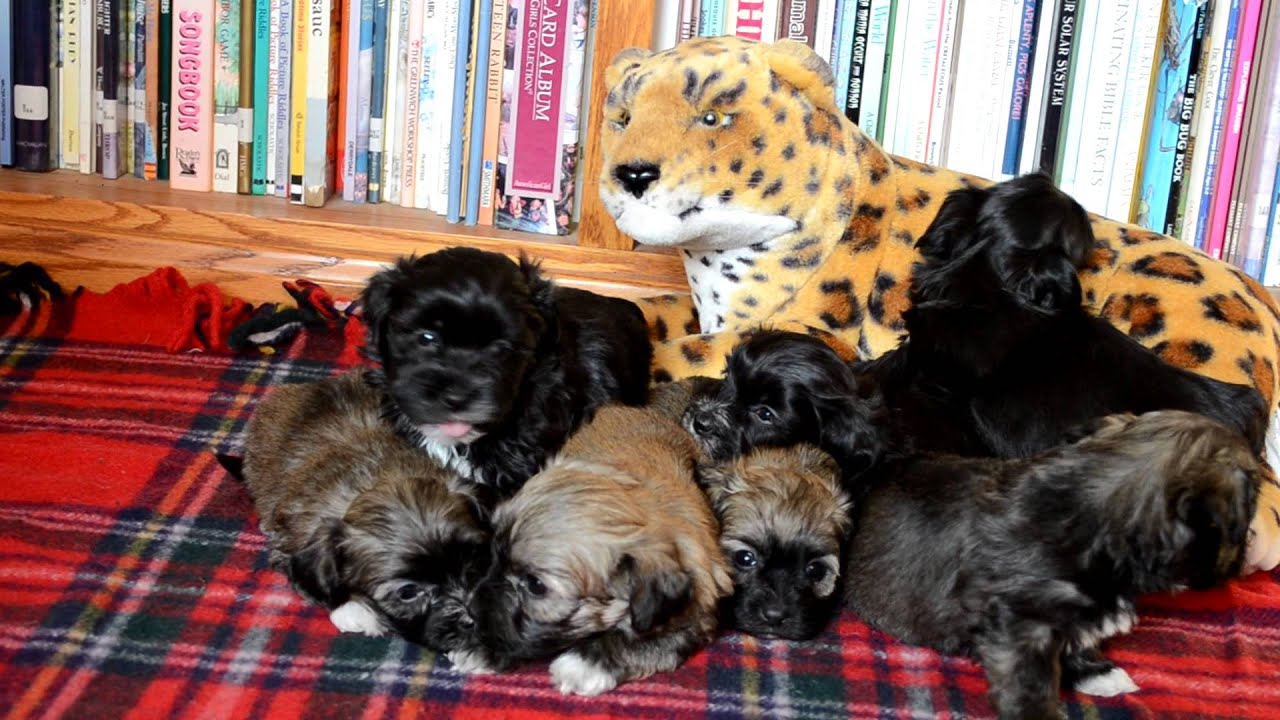 Bumblebee Acres Farm Havanese Dr WHO litter