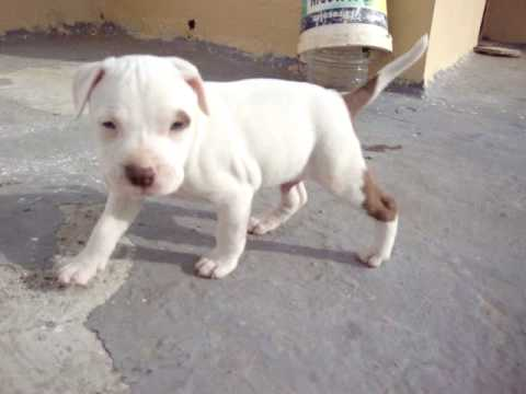 Pitbull Red Nose Blanco Youtube
