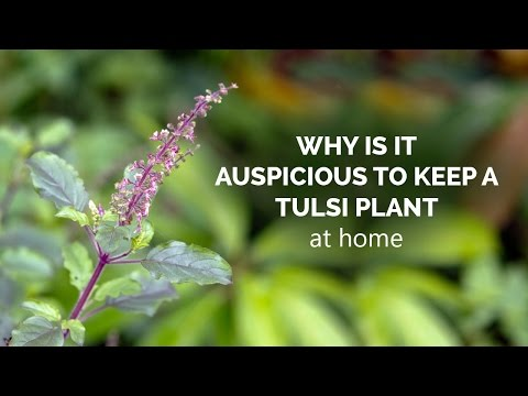 Why is it auspicious to keep a Tulsi plant at home - YouTube