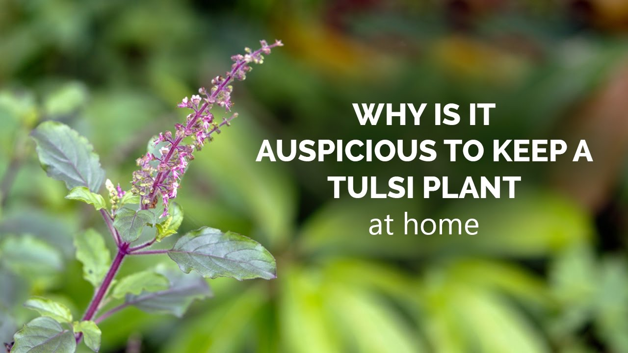 Why is it auspicious to keep a Tulsi plant at home