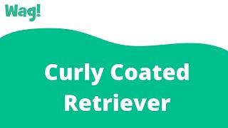 Curly Coated Retriever   Wag!