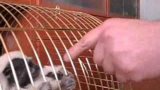 Эдипов тамарин - карликовая обезьянка