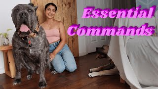 Commands Every Well Behaved Cane Corso MUST Know!