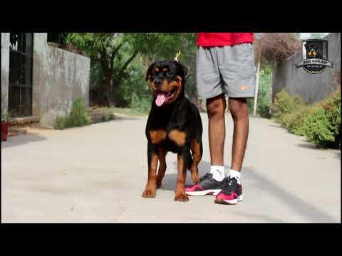 KIAA OF GEHLAUT || ROTTWEILER || SHOW DOG || KCI || FCI ||