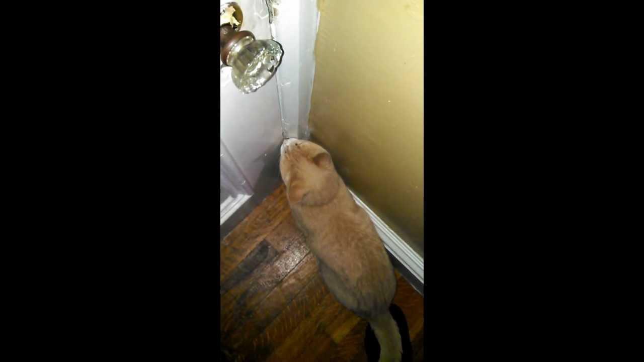 Cat Knocking On Door : Curtis cat quot knocking on my front door youtube