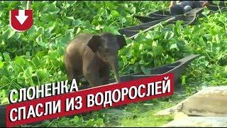 В Индии слоненок потерялся в водорослях озера. Видео спасательной операции