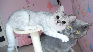 Cats fight #cat Phil and kitten Bantik play