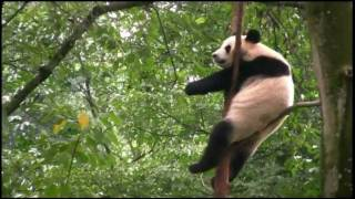 A day with the giant pandas