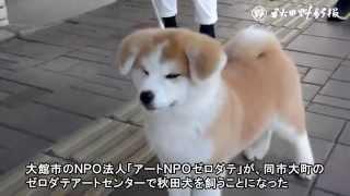 大館市のおおまちハチ公通りに本物の秋田犬がやってきた―。アートを通じ...