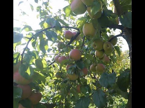 Память Сикоры, очень вкусный зимний сорт яблони известного белорусского селекционера.
