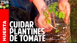 Como cuidar una planta de tomate recien germinada - Riego, Sol, Transplante @cosasdeljardin