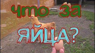 Разноцветные куриные яйца. Куры несут цветные яйца | Дневник Кроликовода №23 | Арболитич