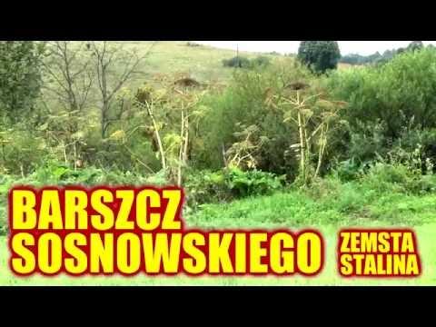 Zemsta Stalina - Barszcz Sosnowskiego