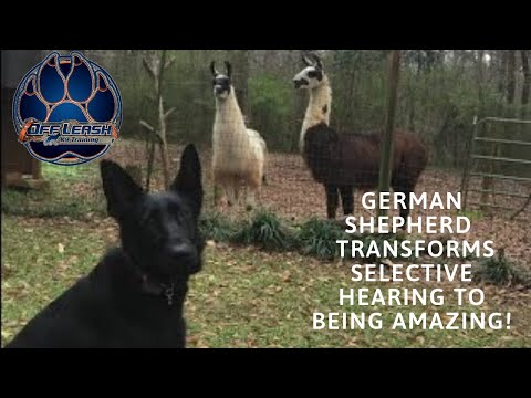 Asheville Dog Trainers-German Shepherd  transforms selective hearing to being AMAZING!