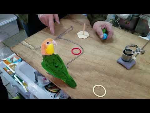 White-Bellied Caique Parrot play tricks at bird street