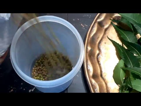 insect free storing tip for rice,lentils,pulses using NEEM LEAVES