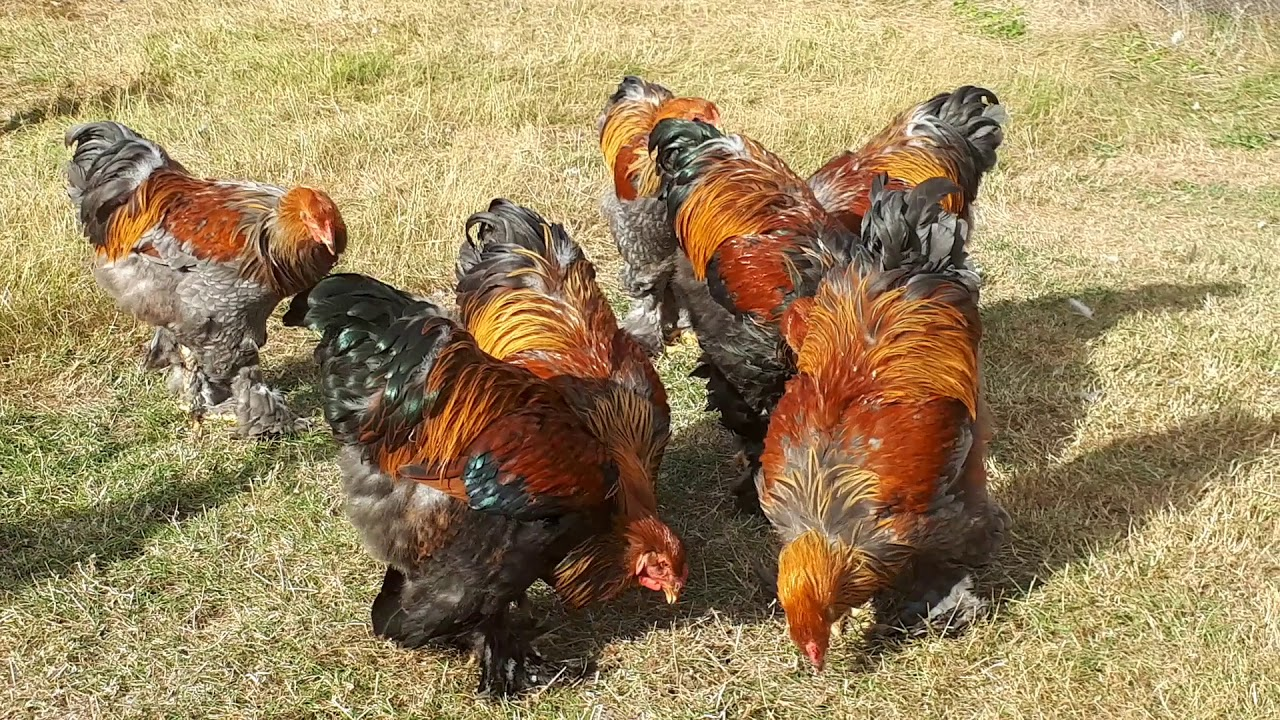 Hühner Sepp