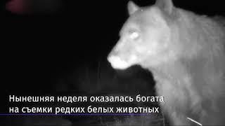 В США в фотоловушку попал белый ягуар и другие животные