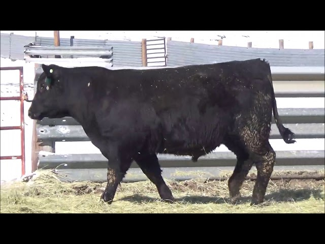 Connealy Angus Lot 195