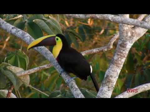 Central American Tropics - Birds #3 - Part VII