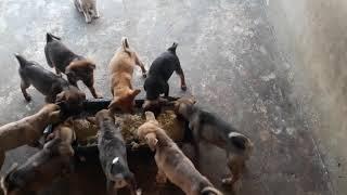 Nuôi chó thịt mô hình trąng trại không ảnh hưởng đến người xung quanh