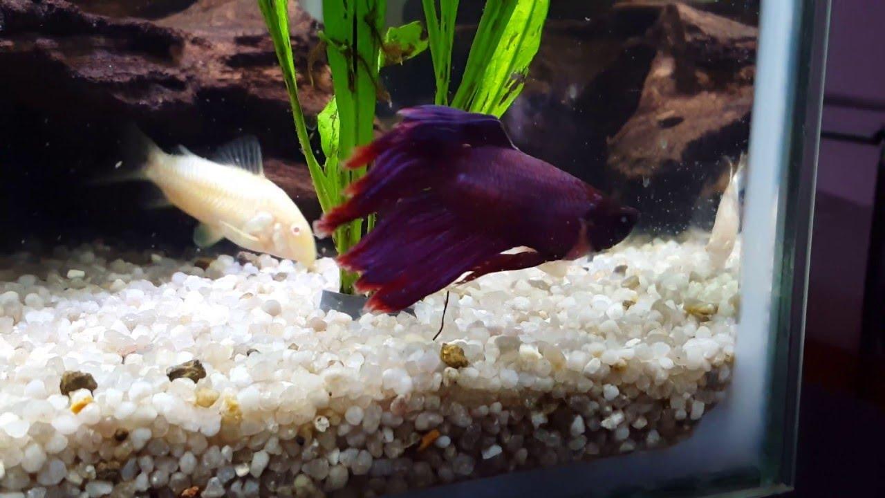 Superfish aquarium fish tank aqua 60 - Male Albino Kribensis In Community Superfish Home 60 Tank