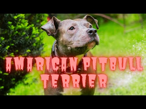 SUPER GIANT AMARICAN Bully  PITBULLS  IN THE WORLD 2021 #stayhome #staysafe