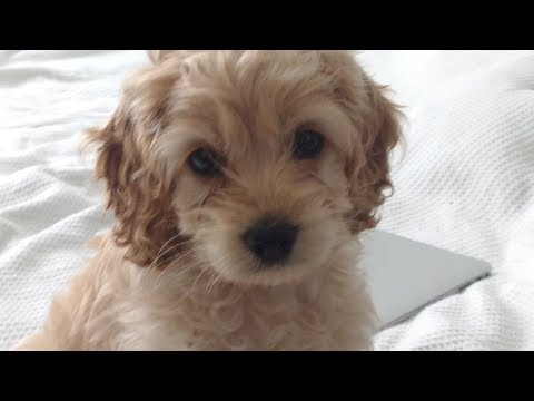 NEW COCKAPOO PUPPY! 8 weeks old
