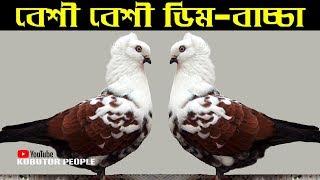 ইচ্ছামত ডিম বাচ্চা নিন কবুতর থেকে   Kobutor Palon Bangladesh   Pigeon Bird   Latest Pigeon Video #50