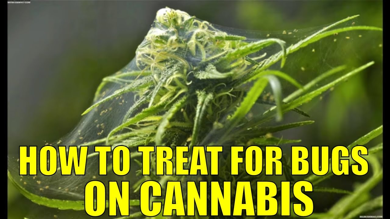 How to deal with Spider mites, Russet mites, Fungus gnats, and Thrips for cannabis plants.